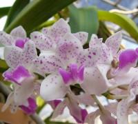 Hoa lan ngọc điểm,lan ngọc điểm,hoa lan,ngọc điểm đai châu,hoa đai châu,hoa lan nghinh xuân,nghinh xuân lan,Rhynchostylis Gigantea,Hoa lan ngọc điểm