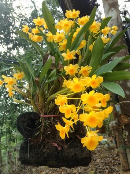 lan hoàng lạp,hoàng lạp,hoàng thảo hoàng lạp,hoàng lan,nến vàng,thủy tiên hoàng lạp,Dendrobium chrysotoxum,hoa lan,phong lan,Hoa lan hoàng lạp