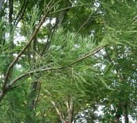 cây thông nước,cây thủy tùng,thông nước,thủy tùng,cây ngoại thất,Glyptostrobus pensilis,cây thủy tùng Llangernyw Yew,cây thủy tùng nhiều tuổi nhất thế giới,cây thủy tùng lớn nhất thế giới,Thông nước - Thủy tùng