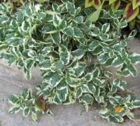 cây cẩm thạch,cẩm thạch,cam thach,cây nội thất,Alternanthera tenella,Cây Cẩm Thạch