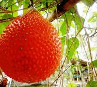Gấc,cây gấc,quả gấc,Momordica cochinchinensis,mộc tất tử,thổ mộc miết,mộc biệt tử,mộc miết tử,cây ăn quả,cây làm thuốc,cây y học,ăn mày mà đòi ăn xôi gấc,Gấc