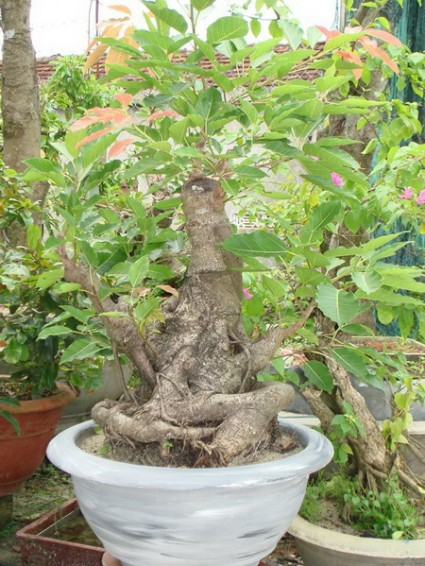 Cây Sộp,sộp,cay sop,trâu cổ,vảy ốc,bị lệ,cây bonsai,cây làm thuốc,cây y học,Ficus pumila L,họ Dâu tằm,Moraceae,Cây Sộp