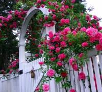 Hoa hồng leo,hoa hong leo,hồng leo,hồng dây,hoa hồng,hồng tường vi,hồng tầm xuân,hồng dây hoa trắng,cây leo,cây hoa,cây giàn leo,cây trang trí sân vườn,cây trang trí hàng rào,Hoa Hồng Leo (Hồng dây)