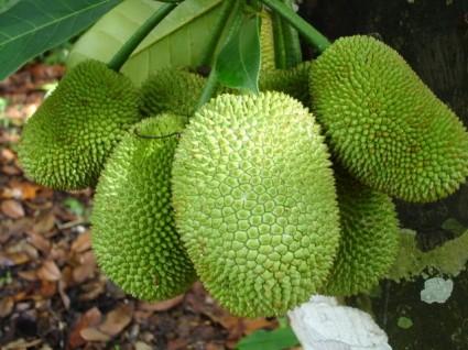 Mít tố nữ,mít,cây mít,quả mít,Artocarpus integer,cây ngoại thất,Mít tố nữ
