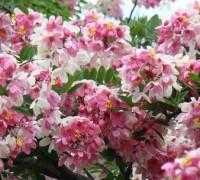 Muồng hoa đào,muong hoa dao,Cassia javanica L,phân họ vang,họ Đậu,Fabaceae,Muồng hoa đào
