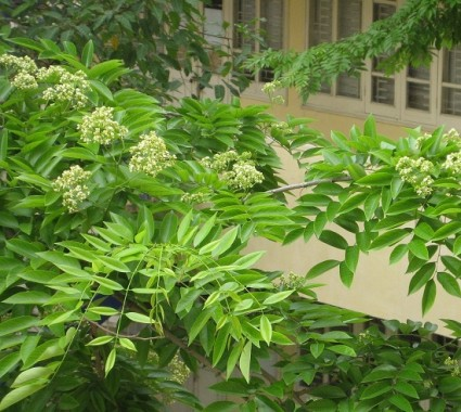 Sưa,cây sưa,gỗ sưa,gỗ quý,sưa Bắc Bộ, trắc thối,huê mộc vàng,Dalbergia tonkinensis,họ Đậu,Fabaceae,Cây Sưa