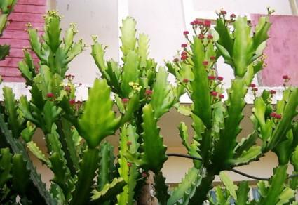 Xương rồng ông,xuong rong ong,xương rồng,cây xương rồng,xương rồng ba cạnh,bá vương tiêm,hóa ương lặc,Euphorbia antiquorum,họ thầu dầu,họ đại kích,Euphorbiaceae,cây thuốc nam,cây y học,Xương rồng ông