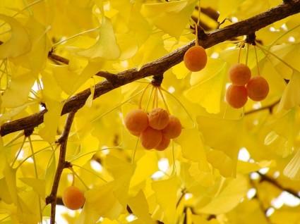 Cây bạch quả,bạch quả,cay bach qua,cây ngân hạnh,ngân hạnh,ngan hanh,cây công trình,cây bóng mát,cây bonsai,cây làm thuốc,cây ăn quả,cây lá vàng mùa thu,Ginkgo biloba,Ginkgo,Ginkgoaceae,Bạch quả - Ngân hạnh