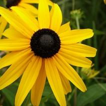 Hoa cúc susan mắt đen