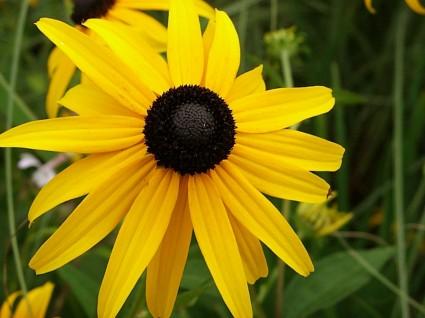 Hoa cúc susan mắt đen,hoa cúc mắt đen,hoa cúc,Black Eyed Susan,Hoa cúc susan mắt đen