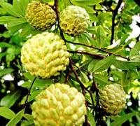 Cây na,na,quả na,mãng cầu ta,mãng cầu dai,mãng cầu giai,mãng cầu Cấp,sa lê,phan lệ chi,na dai,na bở,mãng cầu,Annona squamosa,Annona,cây ăn quả,cây chữa bệnh,Cây na