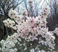 Cây mơ tây,mơ châu Âu,mơ hạnh,cây hạnh,hạnh tử,cây hạnh nhân,Prunus armeniaca,Prunus armeniaca L,Prunus,apricot,abricotier,cây ăn quả,Mơ tây, mơ châu Âu, mơ hạnh