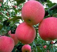Cây táo,táo ta,táo chua,táo tây,táo tầu,cây bôm,cây ăn quả,Rhamnaceae,Ziziphus mauritiana,pomme,Malus domestica,cây ăn quả,apple,họ hoa hồng,Rosaceae,Cây Táo (táo ta, táo tây)