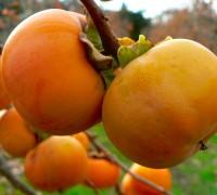 Cây hồng,hồng Nhật Bản,cây hồng úc,hồng giòn,hồng chát,hồng không chát,hồng ngâm,hồng mòng,kaki,hachiya,fuyu,chi thị,Diospyros,cây ăn quả,Cây hồng