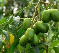 Cây cóc,quả cóc,cóc,cây ăn quả,cây y học,cây chữa bệnh,Spondias dulcis,Spondias Cythera,Malay apple,Golden apple,Cây Cóc