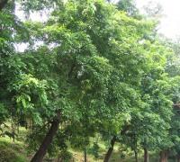 Căm xe,cây căm xe,cẩm xe,cây gỗ,cây gỗ quý,Xylia xylocarpa,Căm xe