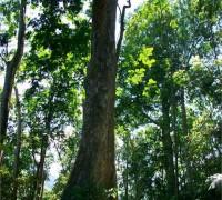 Cây gỗ lim,cây lim,lim xanh,gỗ lim,bốn loài cây gỗ tứ thiết của Việt Nam,bốn loài tứ thiết,cây gỗ quý,đinh lim sến táu,Erythrophleum fordii,phân họ Vang,Caesalpinioideae,họ Đậu,Fabaceae,Leguminosae,Fabaceae sensu lato,Cây gỗ Lim - Lim xanh