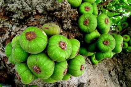 Cây vả,vả,cây sung Mỹ,sung tai voi,sung lá rộng,Ficus auriculata,Ficus,họ Dâu tằm,Moraceae,cây ăn quả,cây làm cảnh,cây chữa bệnh,cây y học,Cây Vả