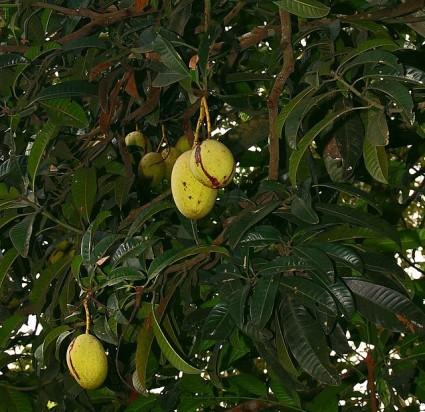Cây muỗm,cây xoài hôi,xoài cà lăm,Mangifera foetida Lour,họ Đào lộn hột,Anacardiaceae,cây ăn quả,cây bóng mát,Cây muỗm