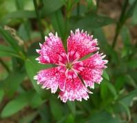 Hoa mã tiên nữ,mã tiên nữ,Verbena hybrida,hoa đẹp,Hoa mã tiên nữ