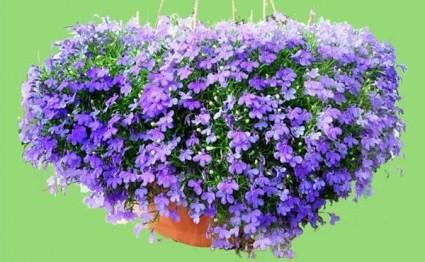 Hoa thúy điệp,hoa điệp thúy,Lobelia,Hoa thúy điệp