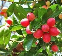 Cây siro,cây si ro,cây si rô,cây xi ro,siro,si ro,si-ro,carissa carandas,họ Dừa cạn,Apocynaceae,cây bụi,Cây Si rô