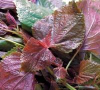 Tía tô,cây tía tô,tía tô cảnh,cây chữa bệnh,Perilla frutescens,Perilla macrostachya,Perilla ocymoides,Perilla urticifolia,Ocimum frutescens,Tía tô
