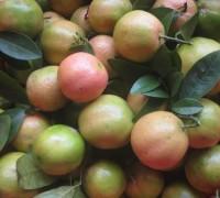 Chanh đào,cây chanh đào,cây chanh,quả chanh,Citrus aurantifolia,cây làm thuốc,tác dụng của chanh đào,chữa ho từ quả chanh,Chanh đào