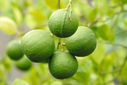 Cây chanh,chanh ta,quả chanh,Citrus aurantifolia,tác dụng của quả chanh,cây làm thuốc,quả chanh chữa ho,Cây chanh (chanh ta)