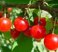 Cherry,cây cherry,cây anh đào,quả anh đào,cây ăn quả,Prunus pseudocerasus,Prunus virginiana,chokecherry,Cherry chua,Cherry ngọt,Cherry (Anh đào)
