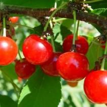 Cherry (Anh đào)
