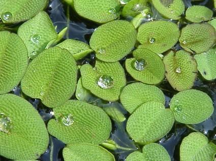 Bèo vẩy ốc,beo vay oc,bèo ong,Salvinia natans,Salviniaceae,cây thủy sinh,Bèo vẩy ốc (bèo ong)