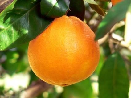 Cây cam,cam,quả cam,cam chanh,cam sành,Citrus sinensis,Orange,cây ăn quả,Cây Cam