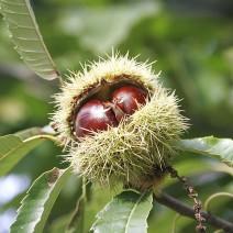Dẻ thơm (cây dẻ,hạt dẻ)