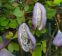 Mộc thông,họ mộc thông,họ luân tôn,Lardizabalaceae,Mộc thông