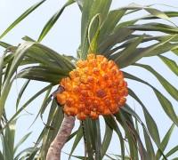 Dứa dại,dứa gai,dứa gỗ,Pandanaceae,cây dứa,Dứa dại (dứa gai)