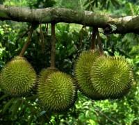 Sầu riêng,sự tích sẩu riêng,sầu riêng ruột đỏ,Durio,Malvaceae,Durionaceae,cây ăn quả,vua của các loại trái cây,lợi ích của sầu riêng với sức khỏe,tu-rên,Sầu riêng