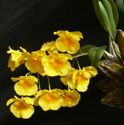 Lan vảy rồng,lan vảy rắn,lan vảy cá,hoàng thảo vảy rồng,hoàng thảo vảy cá,tụ thạch hộc,Dendrobium lindleyi,Dendrobium aggregatum (nom. illeg.),lan hoàng thảo,hoa lan,phong lan,Lan vảy rồng