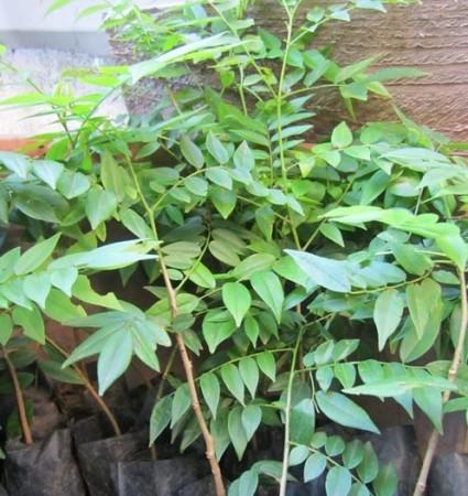 Mắc mật,cây mắc mật,cây móc mật,hồng bì núi,hồng bì,củ khỉ, dương tùng,Clausena indica,Mắc mật