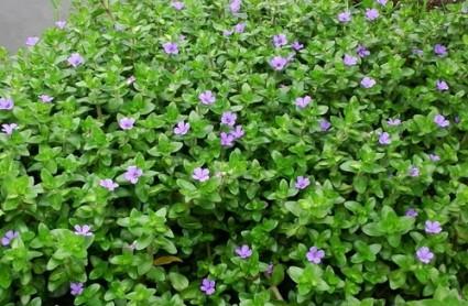 Cây hoa ngổ,cây thủy sinh,hoa ngổ hương,hoa ngổ hương thủy sinh,Cây hoa ngổ