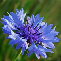 Hoa thanh cúc (Cornflower)