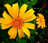Dã quỳ,hoa dã quỳ,cây dã quỳ,cúc quỳ,sơn quỳ,quỳ dại,hướng dương dại,hướng dương Mexico,cúc Nitobe,hoa hướng dương,Tithonia diversifolia,họ Cúc,Asteraceae,Dã quỳ