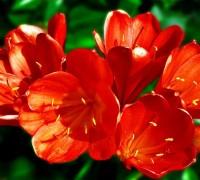 cây hoa lan quân tử,Lan quân tử,cây lan,hoa lan,phong lan,hoa lan quân tử,huệ đỏ,lan huệ da cam,đại quân tử,Clivia,Clivea,Cây Lan Quân Tử