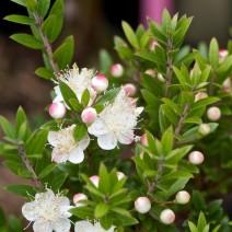 Hương đào (Myrtus)