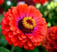 Hoa cúc lá nhám,cúc lá nhám,hoa cúc,hoa cúc zinnia,cúc cánh giấy,cúc ngũ sắc,họ cúc,Asteraceae,Hoa cúc lá nhám, cúc ngũ sắc (Zinnia)