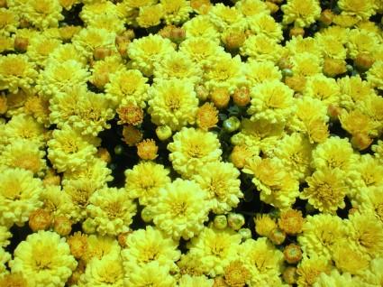 Cúc mâm xôi,hoa cúc mâm xôi,hoa cúc,Chrysanthemum morifolium,họ Cúc,Asteraceae,Cúc mâm xôi