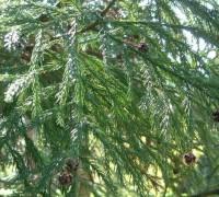 Liễu sam,liễu Nhật Bản,cây liễu,Cryptomeria,họ Hoàng Đàn,Cupressaceae,Cryptomeria japonica,Cupressus japonica L.f,Liễu Sam (Liễu Nhật Bản)