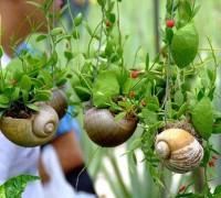 Lan sò,hoa lan sò,cây lan sò,cây con sò,họ Bông tai,họ Thiên lý,Asclepiadaceae,cây leo,Lan sò