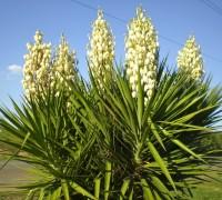 Cây ngọc giá,ngọc giá,cay ngoc gia,cây ngoại thất,Yucca Filamentosa,họ măng tây,họ thiên môn đông,Asparagaceae,Ngọc Giá