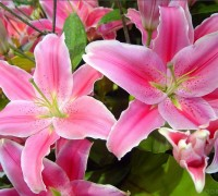 Hoa ly,lily,hoa lily,hoa bách hợp,hoa loa kèn,hoa huệ tây,huệ tây,ý nghĩa hoa ly,truyền thuyết hoa ly,truyền thuyết hoa ly,lis,Liliaceae,Amaryllis,Red Lily,Lilium Longiflorum,hoa đẹp,họ loa kèn,Hoa Ly (bách hợp)